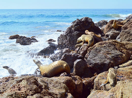 Seal Rookery on Point Dume Nature Preserve in Malibu, California, on a sunny day shows seals lounging in the sun on rocks off the coast of the Pacific Ocean.