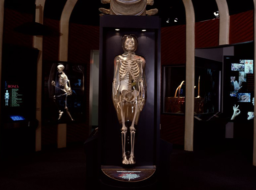Large replicas of human skeletons on display in a large dark room at the Amazing Body Pavilion at the Health Museum in Houston, Texas.