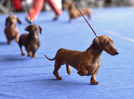 Three tiny brown dachshunds walking on a blue carpet at the Westminster Kennel Club Dog Show in NYC.